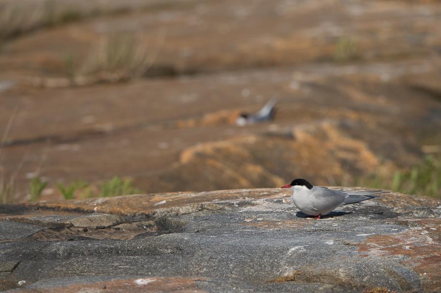 Arctic Tern | Noordse Stern