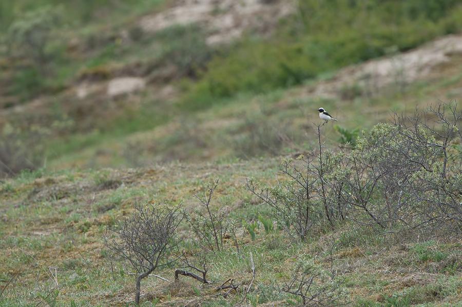 Eastern Black-eared Wheatear| Oostelijke Blonde Tapuit