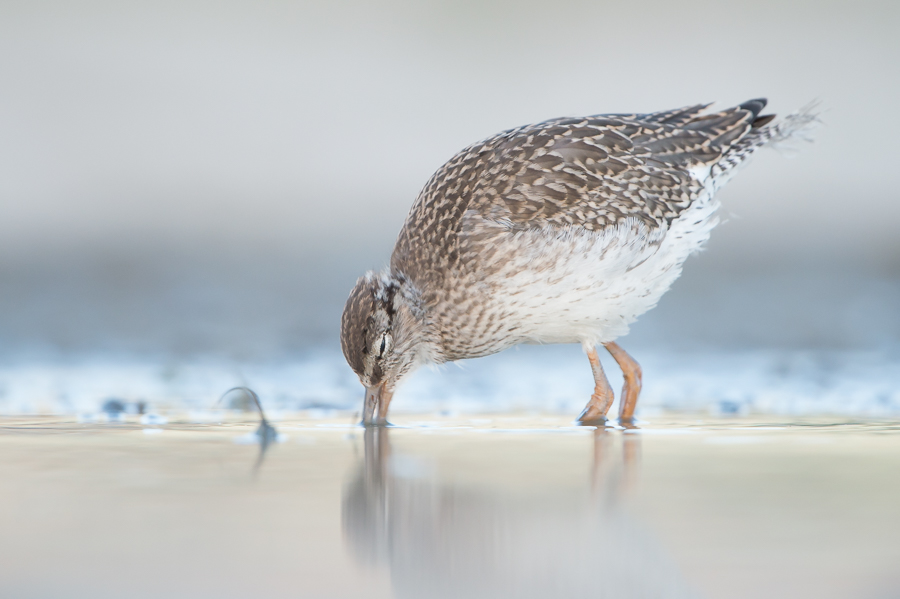 Common Redshank (juv.) | Tureluur