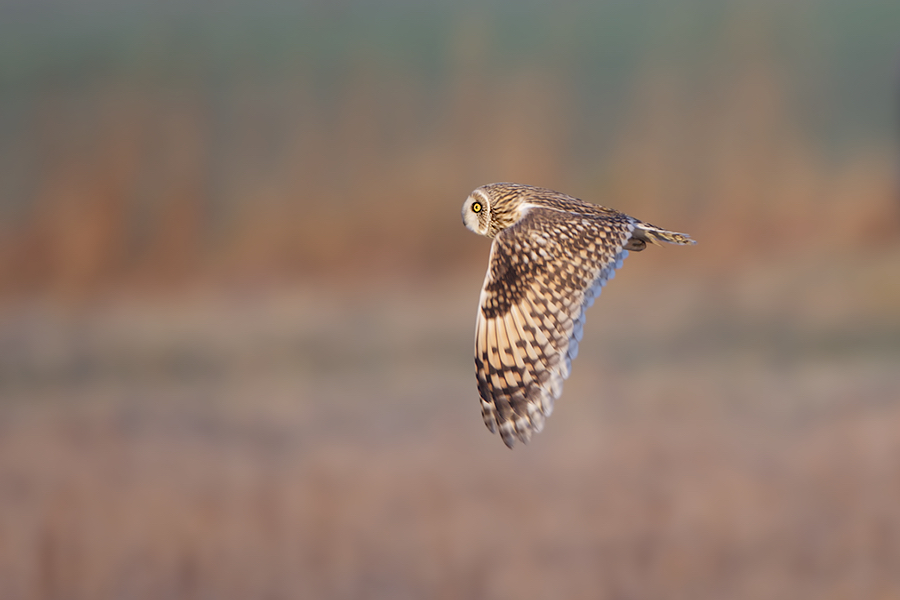 Short-eared Owl   Velduil