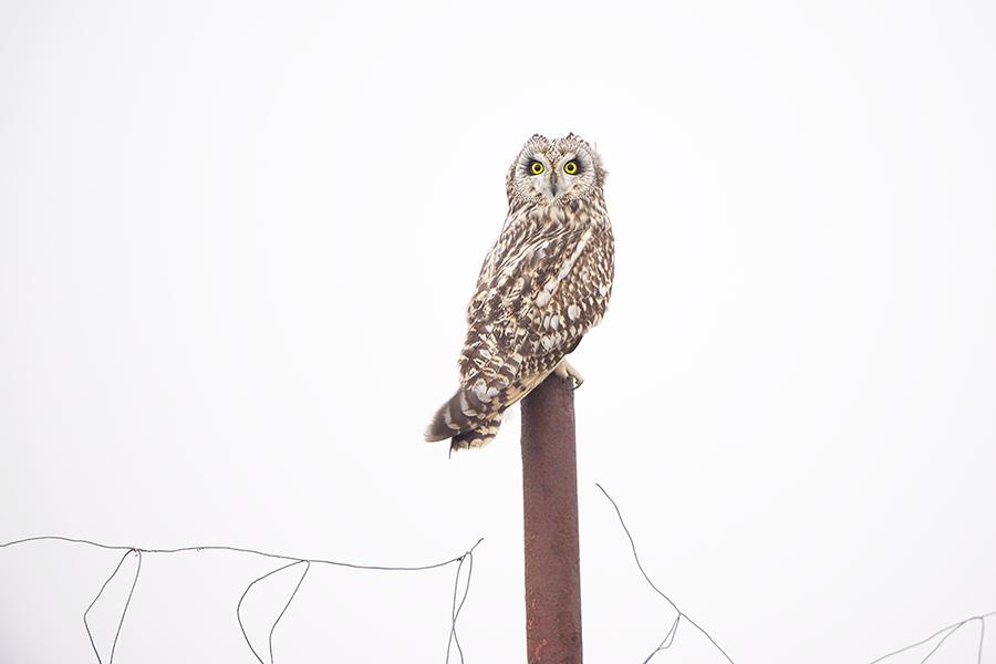 Short-eared Owl | Velduil