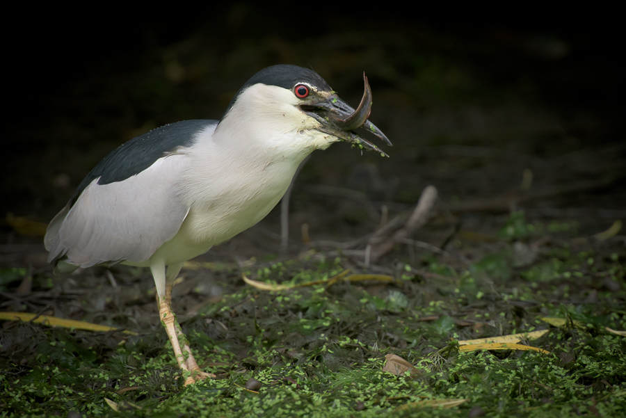 Black-crowned Night Heron | Kwak