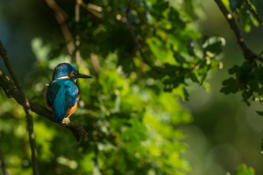 Common Kingfisher | IJsvogel