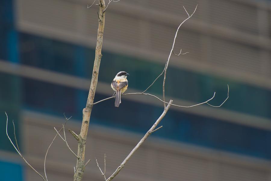 Long-Tailed Shrike   Langstaartklauwier