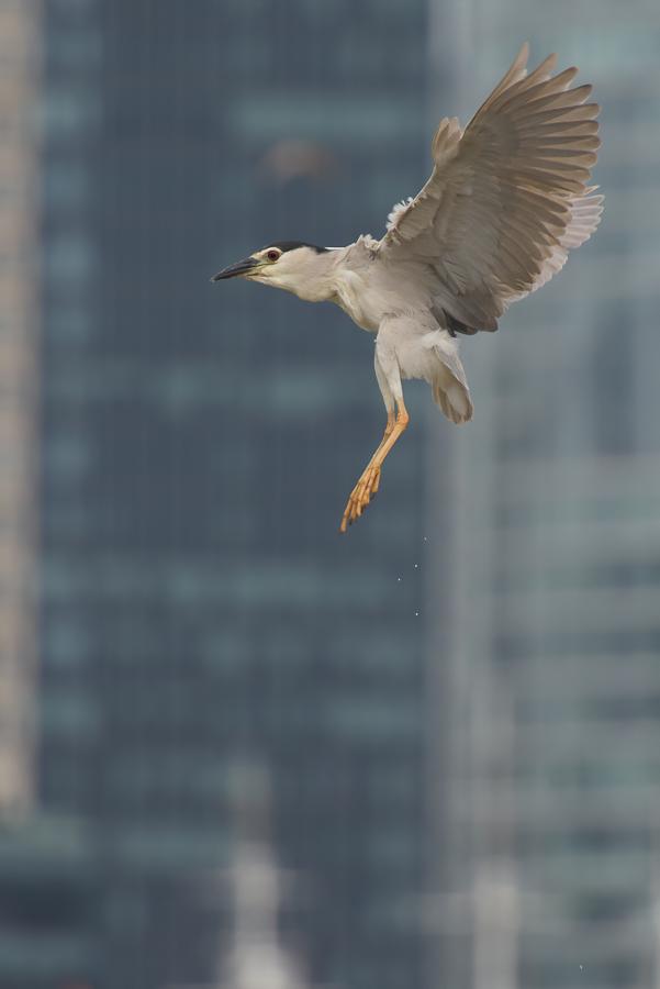 Black-crowned Night Heron    Kwak