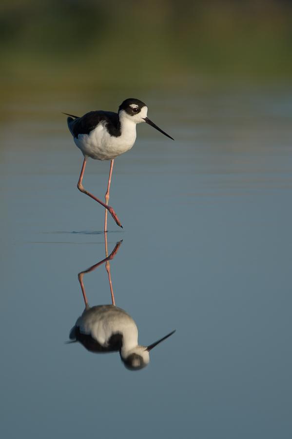 Black-necked Stilt | Amerikaanse Steltkluut