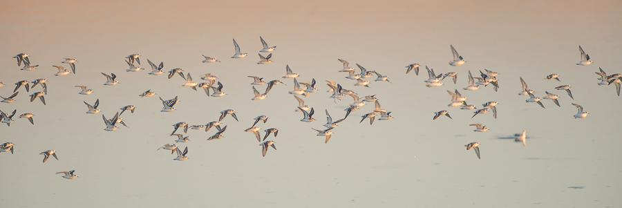 Flock of mixed Phalaropes | Zwerm gemengde Franjepoten