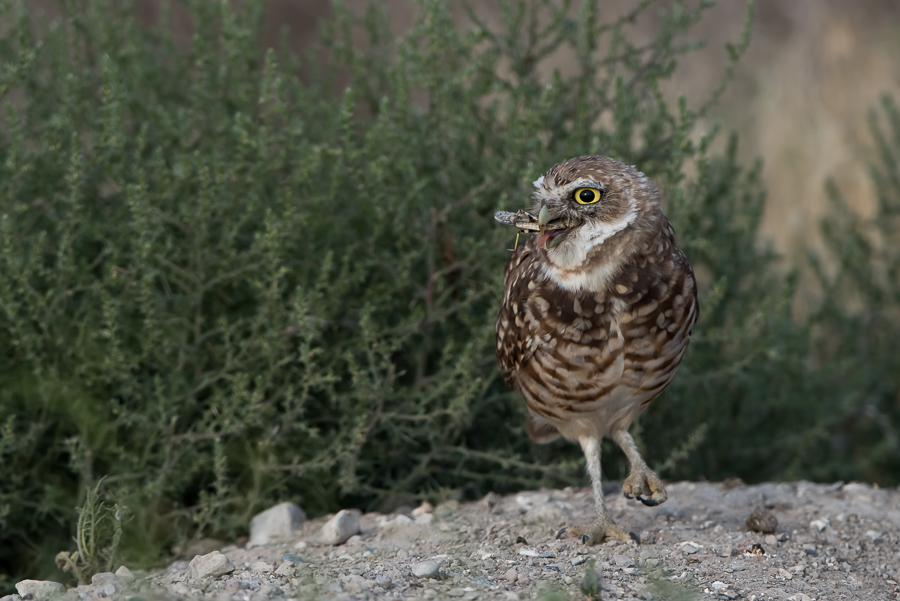 Burrowing Owl | Holenuil