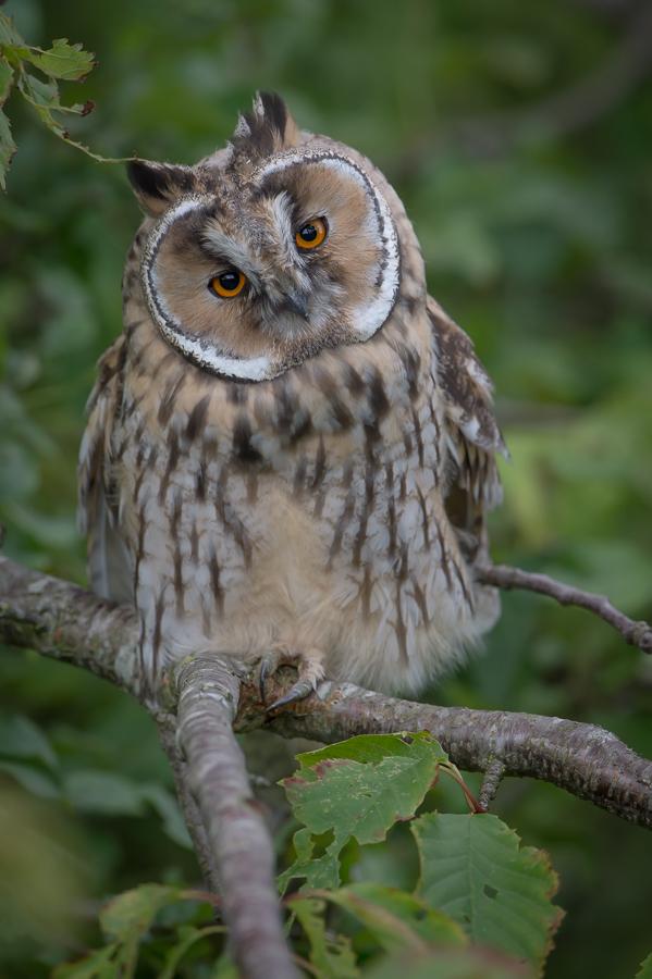 Long-eared Owl | Ransuil