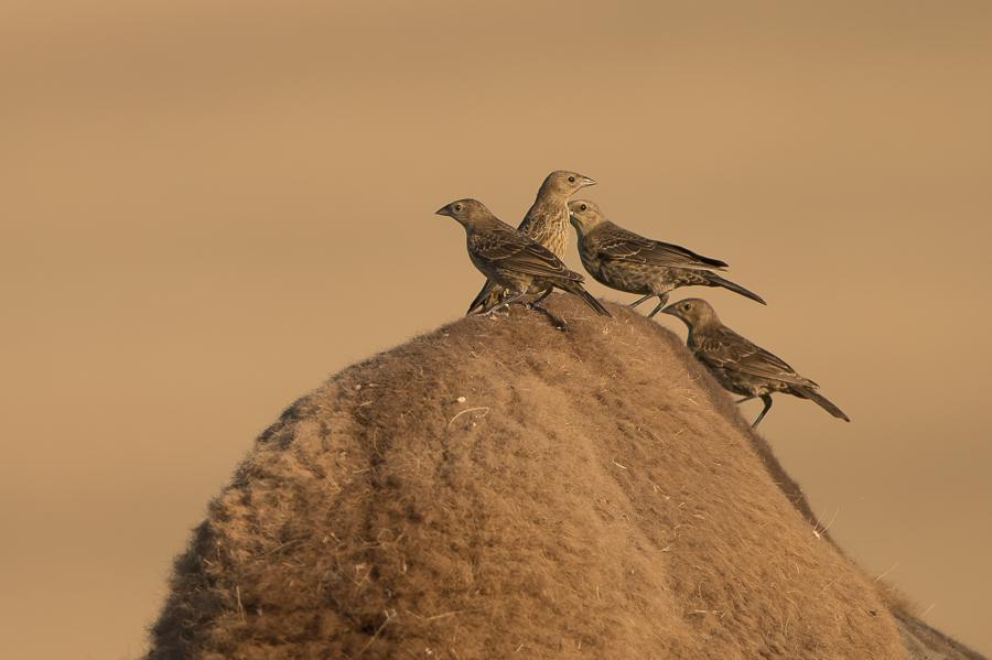 Brown-headed Cowbird | Bruinkopkoevogel