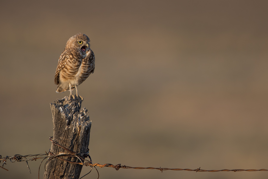 Burrowing Owl (Athene cunicularia) yawning while sitting on a fence post