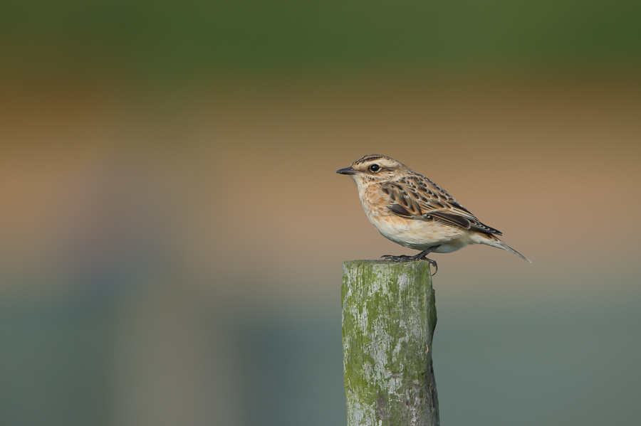 Whinchat | Paapje