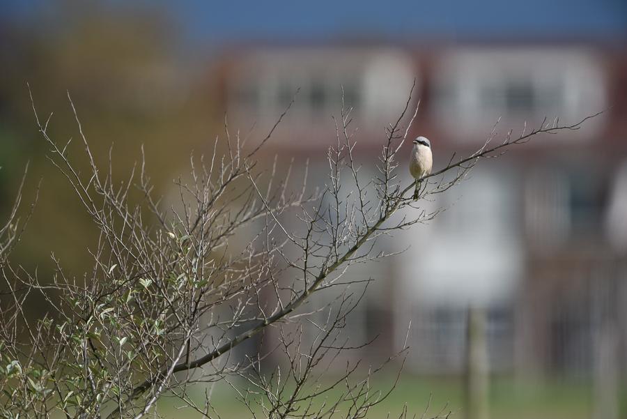 Red-backed Shrike | Grauwe Klauwier