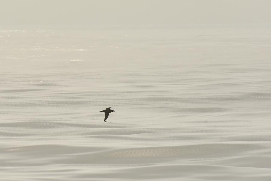 Sooty Shearwater | Grauwe Pijlstormvogel