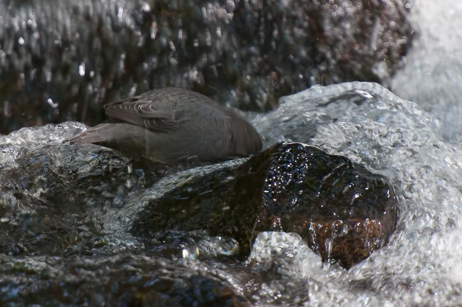 American Dipper | Noord-Amerikaanse Waterspreeuw