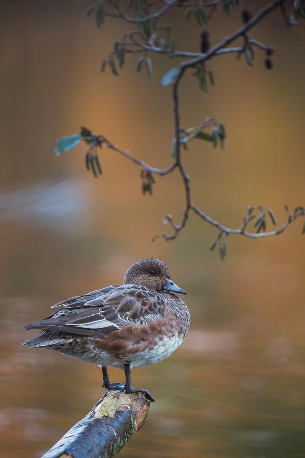 Eurasian Wigeon | Smient
