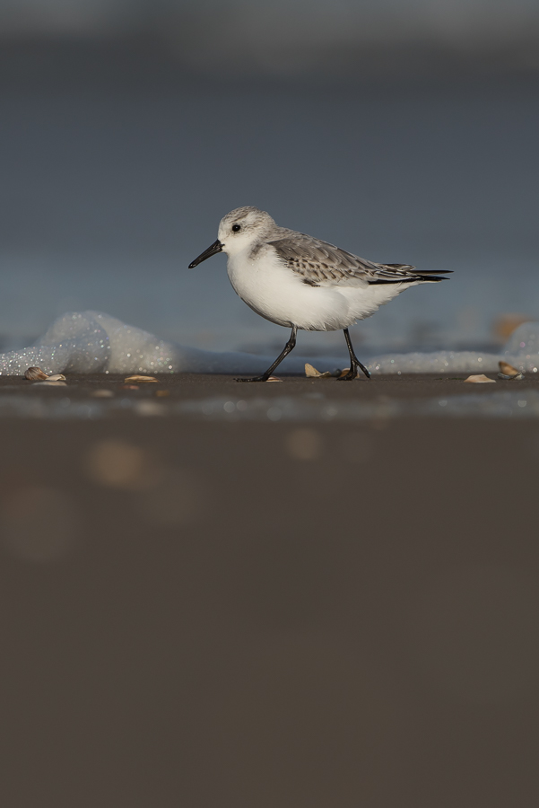 Sanderling | Drieteenstrandloper