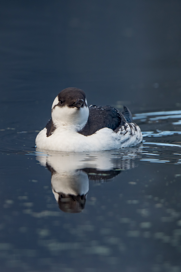 Common Murre | Zeekoet