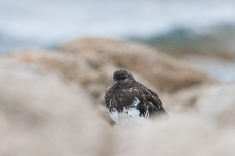 Black Turnstone | Zwarte Steenloper