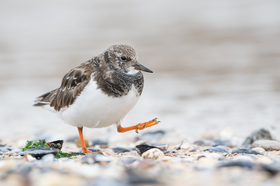 Ruddy Turnstone | Steenloper