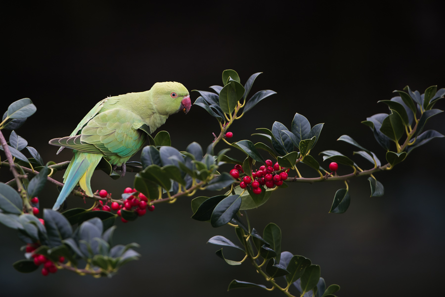 Rose-ringed Parakeet   Halsbandparkiet