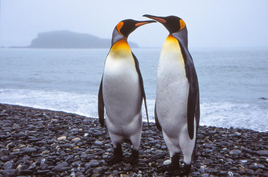 King Penguin | Koningspinguïn