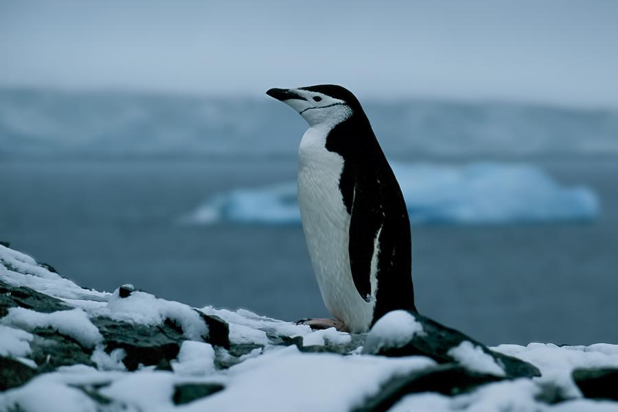 Chinstrap Penguin | Stormbandpinguïn