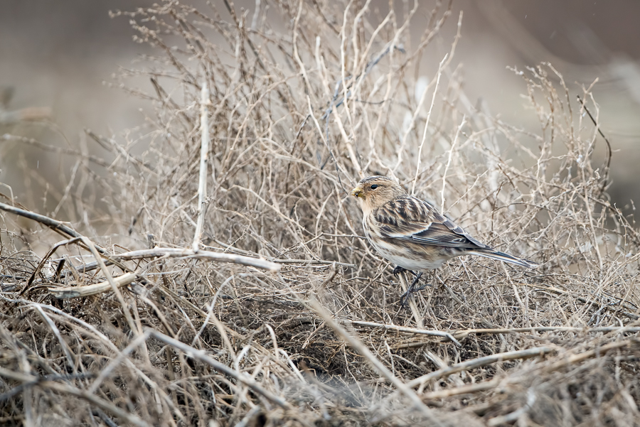 Twite | Frater