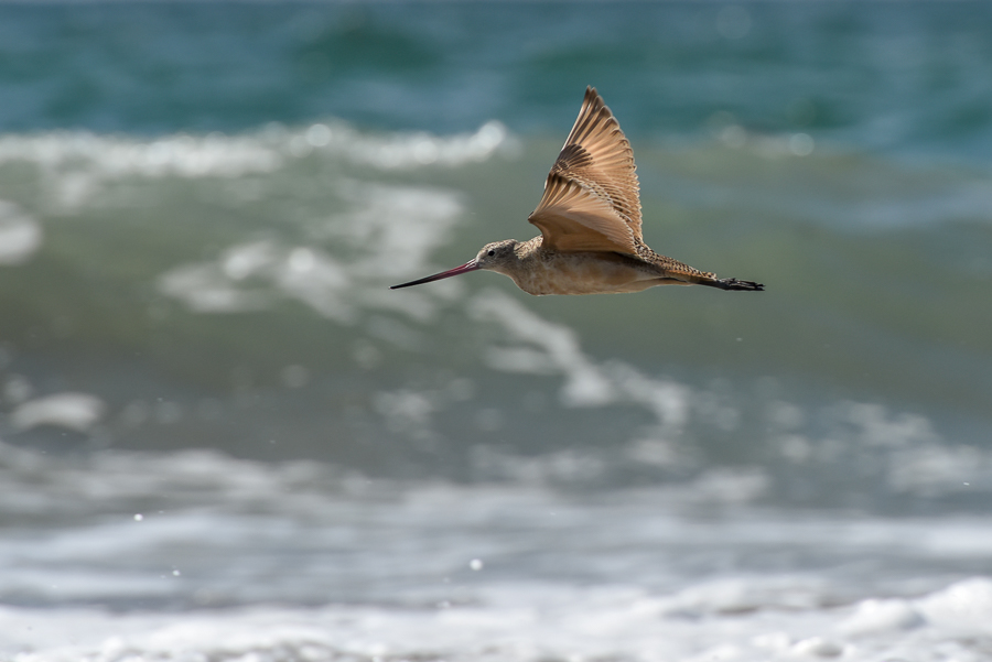 Marbled Godwit | Marmergrutto