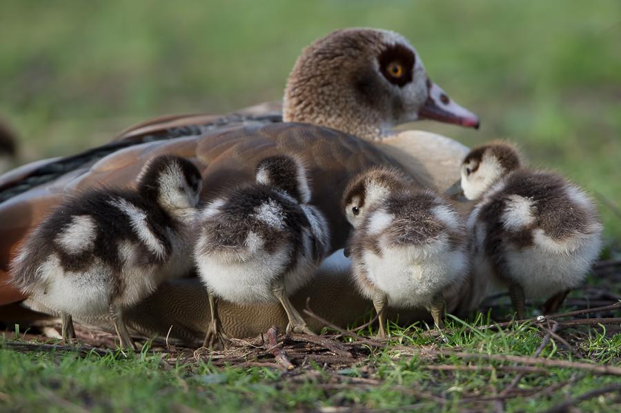 Egyptian Goose | Nijlgans
