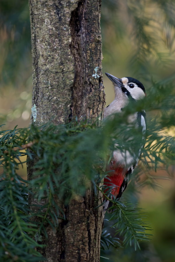 Great Spotted Woodpecker | Grote Bonte Specht ♂