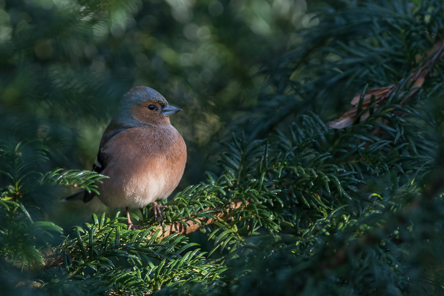 Common Chaffinch | Vink