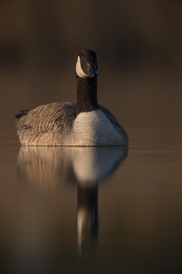 Canada Goose | Grote Canadese Gans