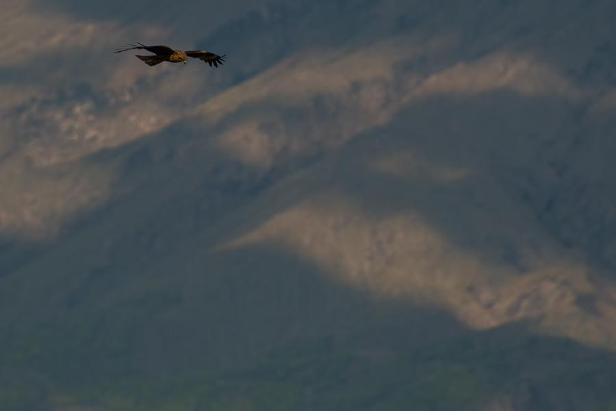 Black-eared Kite | (Oostelijke) Zwarte Wouw