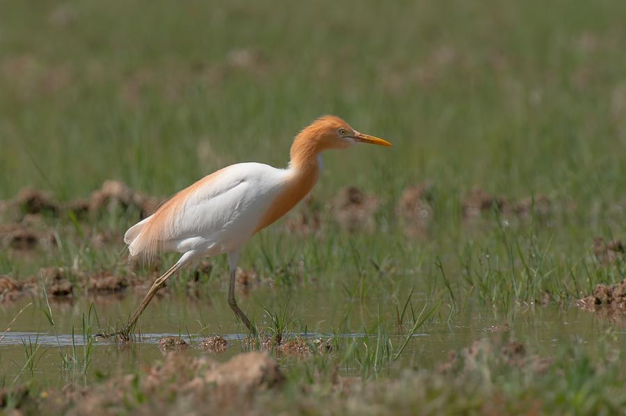 Eastern Cattle Egret | Oostelijk Koereiger