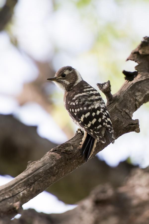 Japanese Pygmy Woodpecker | Kizukispecht | Dendrocopos kizuki kizuki