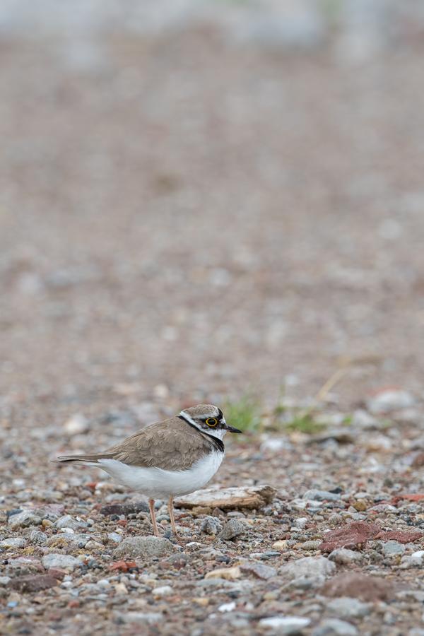 Little Ringed Plover | Kleine Plevier