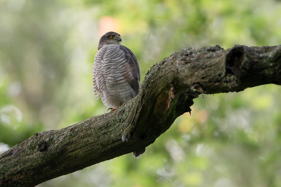 Eurasian Sparrowhawk | Sperwer