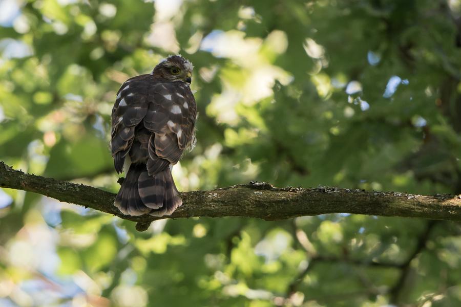 Eurasian Sparrowhawk   Sperwer