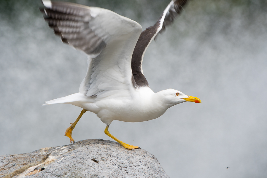Lesser Black-backed Gull | Kleine Mantelmeeuw