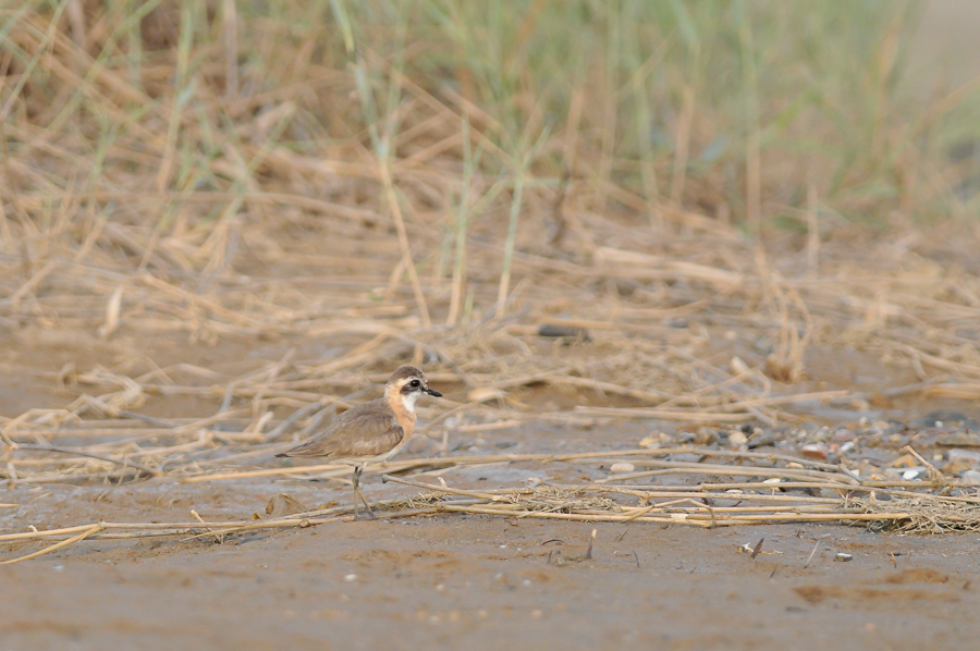 Lesser Sand-Plover \ Mongoolse Plevier