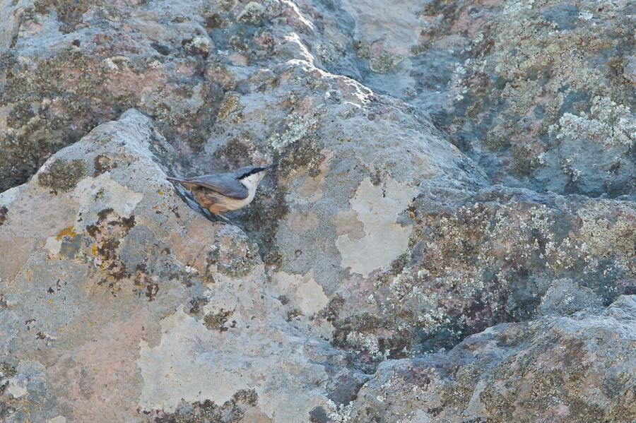 Western Rock Nuthatch | Rotsklever