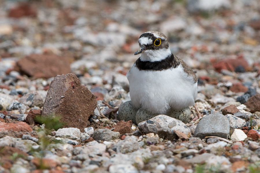 Little Ringed Plover (Charadrius dubius) breeding with eggs visible