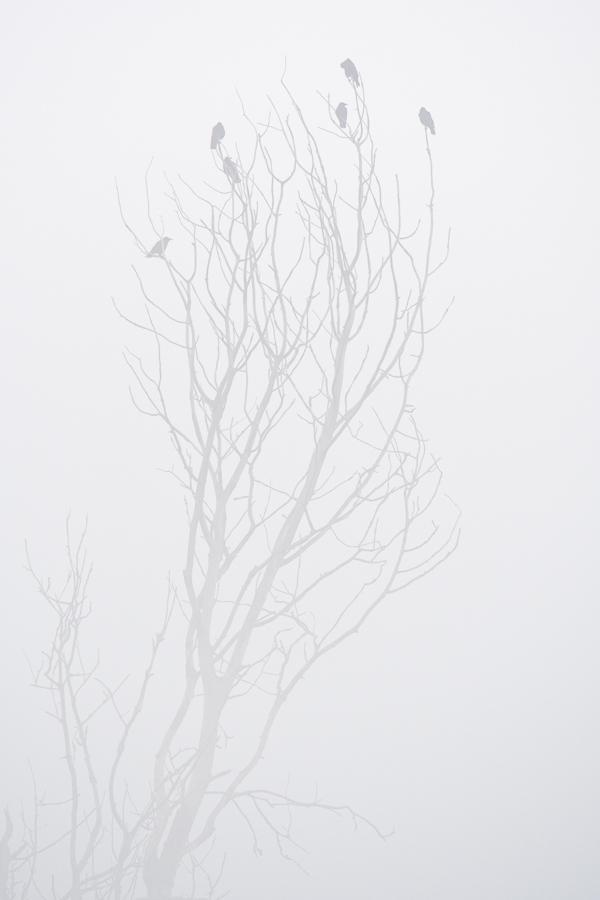 Carrion Crow   Zwarte Kraai