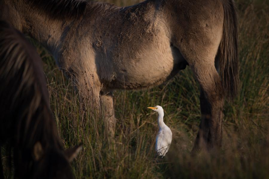 Cattle Egret | Koereiger