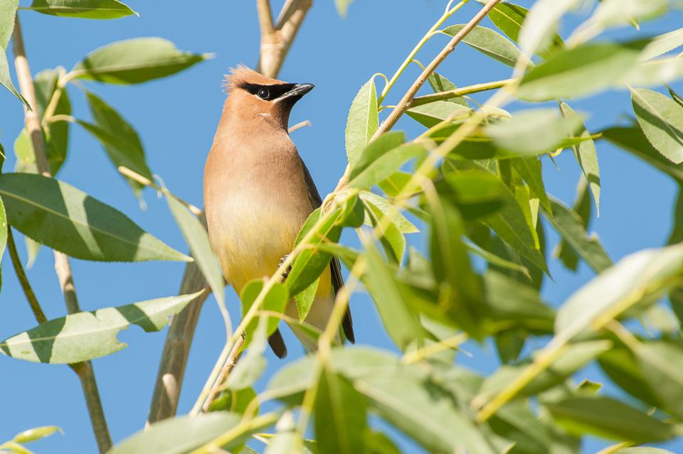 Cedar Waxwing | Cederpestvogel