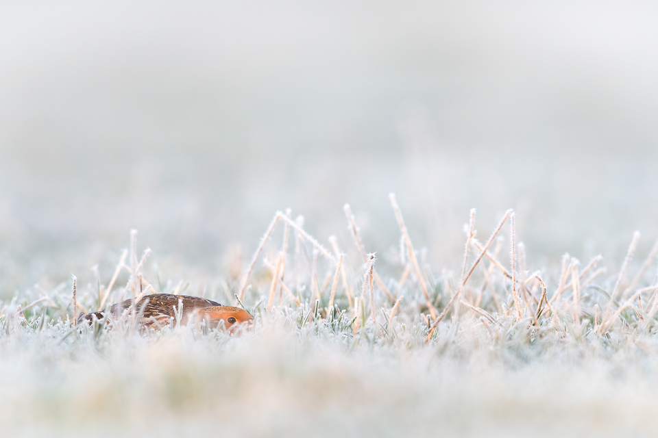 Grey Partridge | Patrijs