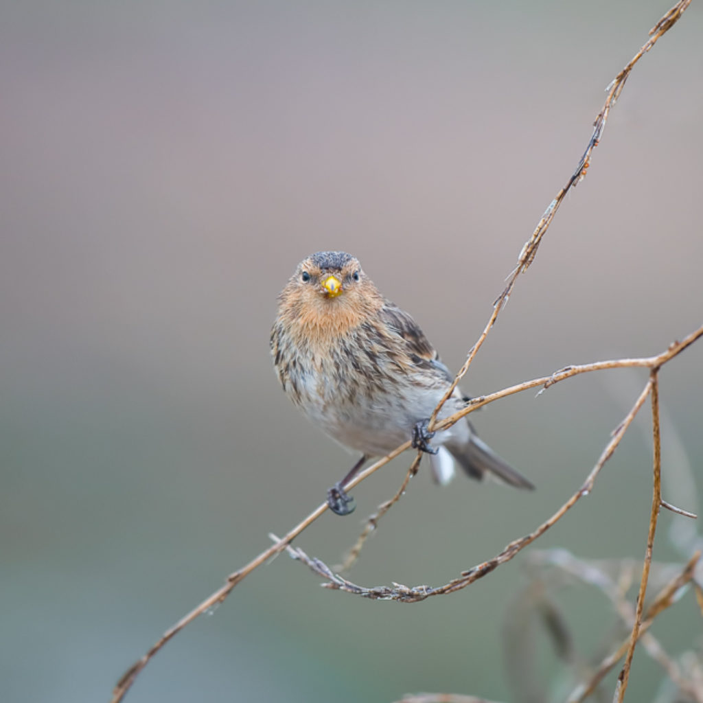 Totally Twite