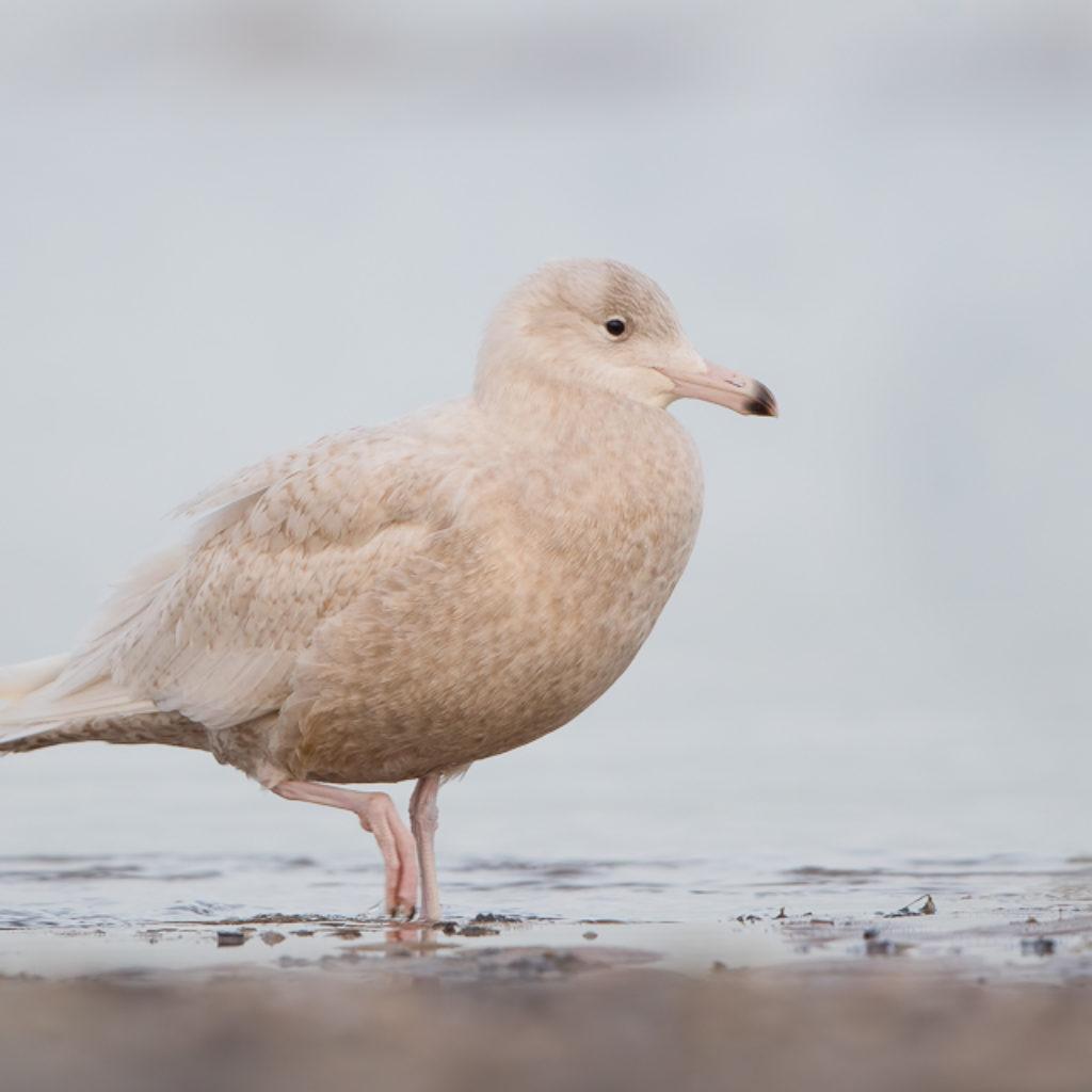 Dull Gull?