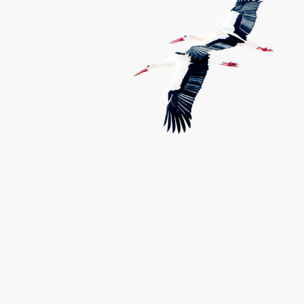 Snowy Storks